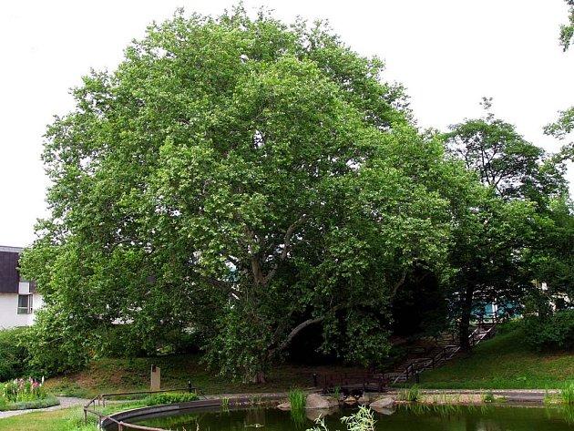 Brněnský strom roku 2008 - Platan v areálu ústavu Kociánky