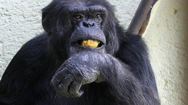 Šimpanzí samec Fáben v brněnské zoo.