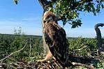 Mládě nového, nedospělého páru orlů královských, který letos prvním rokem zahnízdil na Břeclavsku.