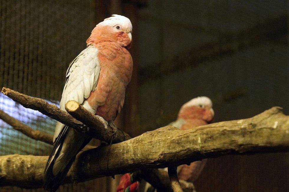 Kakadu růžový v brněnské zoologické zahradě.