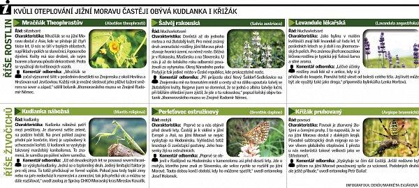 Kvůli oteplování jižní Moravu častěji obývá kudlanka ikřivák.