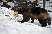Zimní šampionát zvířat v brněnské ZOO - rosomák sibiřský.