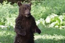 Medvěd Bruno se loučí s brněnskou zoo. Míří do Děčína.