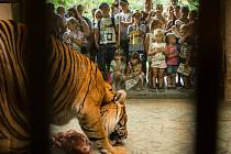 Ohromné tesáky pruhovaných šelem odtrhávajících maso sledovaly přes skla expozic v brněnské zoo v sobotu desítky lidí. Přišly se podívat na speciální komentovaná krmení tygrů sumaterských, které pro ně zoo připravila na Mezinárodní den tygrů.