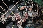 V půl sedmé ráno na Silvestra začali sbírat hrozny pro ledové víno v Bohumilicích na Břeclavsku.