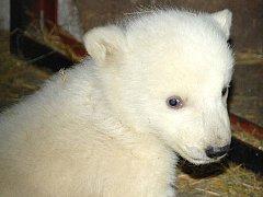 Jedno z ledních medvíďat.