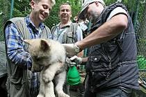 Pracovníci ZOO Brno v pátek dopoledne odchytili a očipovali deset malých vlčat.