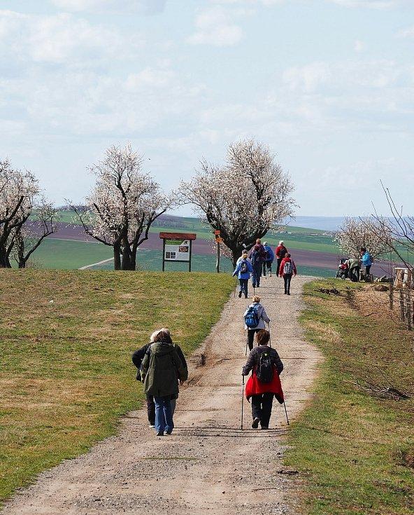 Loni byly již v polovině března mandloně v Hustopečích v plném květu.