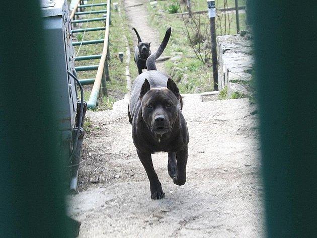 Pitbulové Břetislava Fabiána útočí na jiné psy a jednoho už roztrhali.