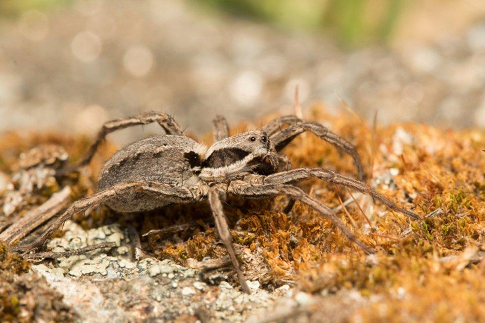 Kriticky ohrožený pavouk slíďák suchopárový.
