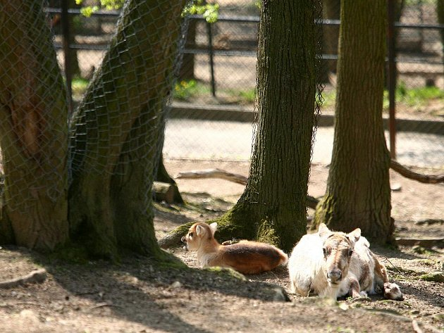 Mládě soba polárního v brněnské zoologické zahradě.