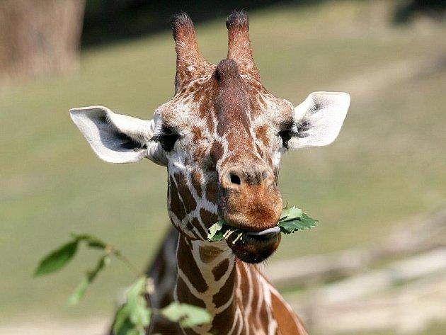 Žirafa Žaneta v brněnsko zoo.