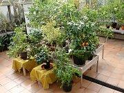 Výstava citrusů v brněnské botanické zahradě v Kotlářské ulici.
