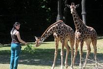 V brněnské zoo pokřtili mladé žirafy.