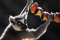 Expozice lemurů ve vyškovském zooparku se rozroste.