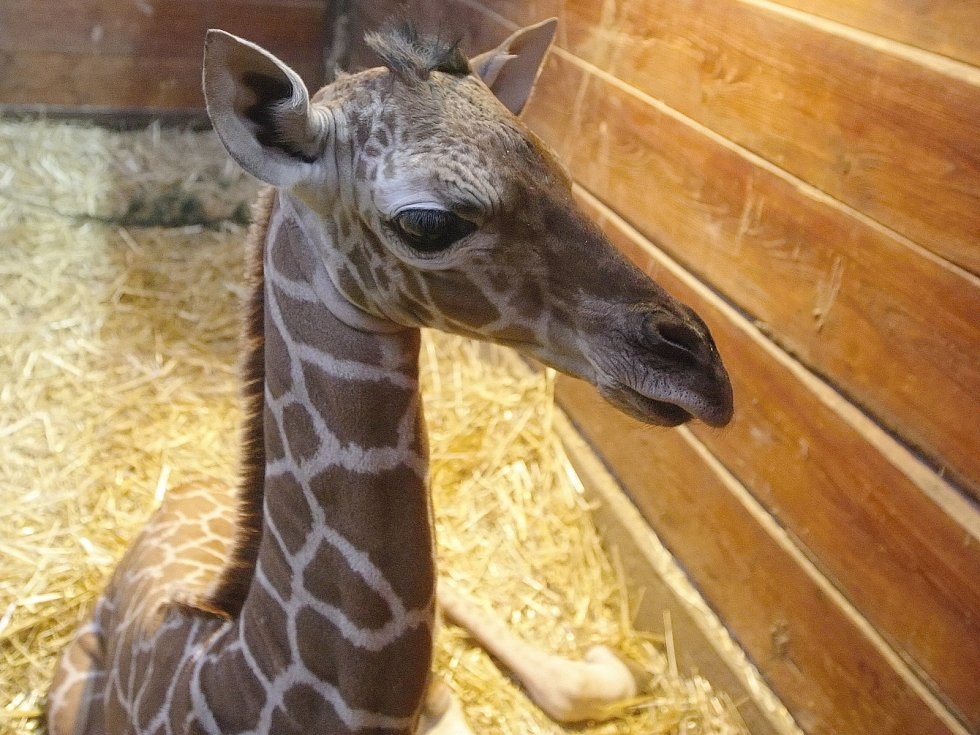 První letošní přírůstek v brněnské zoo. Mládě se narodilo nejstarší žirafě síťované Janette.