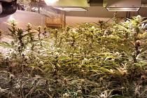 V pěstírnách marihuany objevili členové brněnského toxi-týmu stovky rostlin i pět kilogramů hotové drogy.