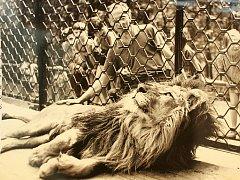Lvi mohli Brňané v zoo obdivovat od roku 1953 do zrušení jejich výběhu v roce 2004.