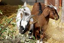 Nová mláďata kamerunské kozy v Tyršově sadu.