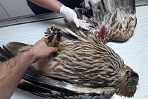 Vzácný orel královský nešťastně narazil do drátů u Vlasatic. Křídlo mu museli amputovat.