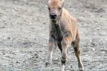 Osmý do stáda. Malý bizon se má čile k světu.