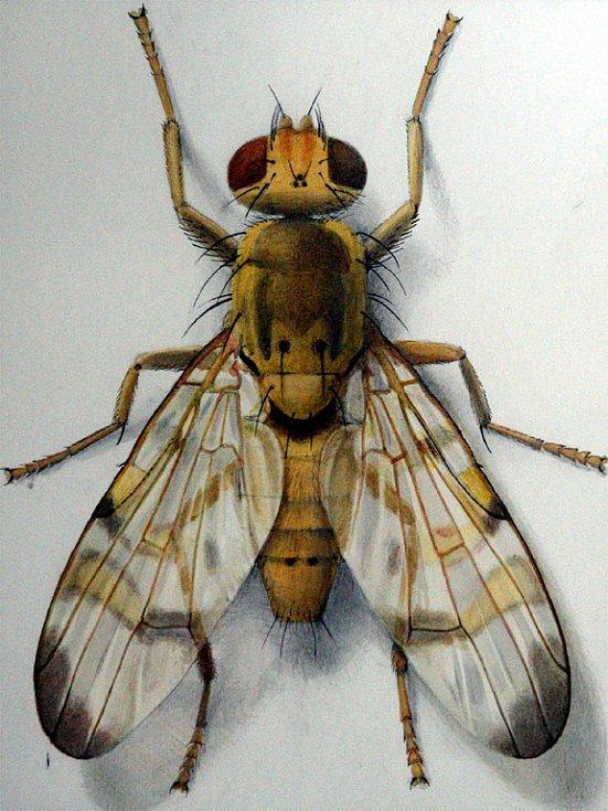 Mouchy v kresbách ilustrátora Gregora