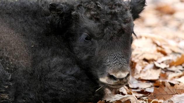 Mládě jaka v brněnské zoologické zahradě.
