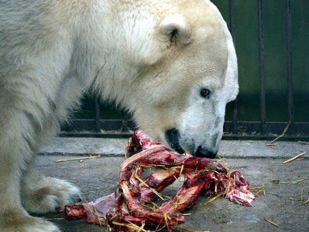 Samec ledního medvěda Umca