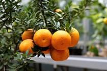 Výstava citrusů a dalších tropických rostlin se v brněnské botanické zahradě koná už třetím rokem.