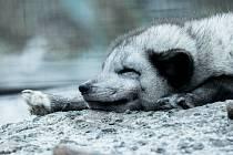 Zdravotníci z Masarykova onkologického ústavu adoptovali lišku polární z brněnské zoo.