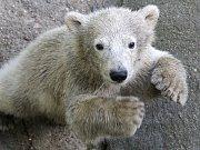 Lední medvědice Noria.
