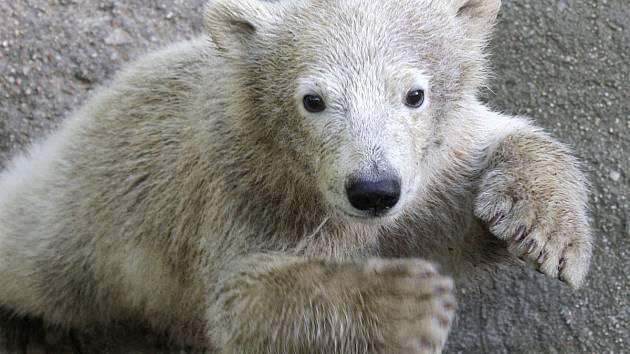 Lední medvědice Noria ještě jako mládě.