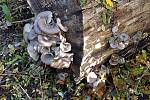 Podzimní houbaření - hlíva ústřičná.