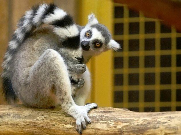 Lemur kata v brněnské zoologické zahradě.
