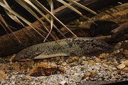 V akváriích brněnské zoo jsou k nově vidění tři unikátní druhy ryb. Zoo je chová jako jediná v Evropě. Lidé mohou v Brně spatřit bahníky australské (na snímku), baramundi australské a tandany skvrnité.