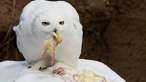 Zvířata a zima? Rosomák nazuje sněžnice, škodolibí papoušci shazují na lidi sníh
