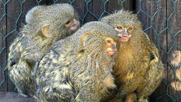 Mláďata kosmana zakrslého v brněnské zoo.