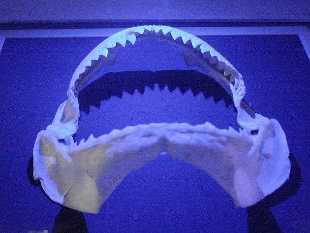 Sbírku čelistí žraloků různých druhů si od čtvrtka mohou prohlédnou návštěvníci brněnské zoologické zahrady, kteří zavítají do expozice Exotária.