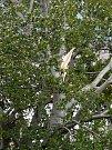 V Brně-Židenicích vítr mával s pět pater vysokým stromem.