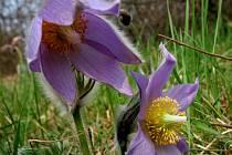 Ekologové označují koniklece za skutečné klenoty květeny.