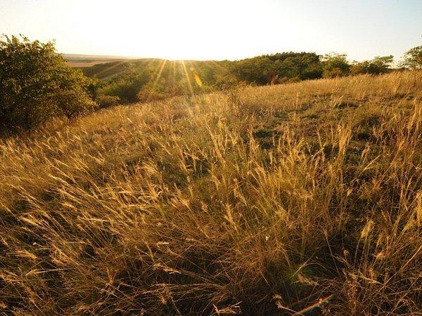 Miroslavské kopce na Znojemsku jsou národní přírodní památkou chránící suchomilné rostlinstvo, jako je třeba kavyl.