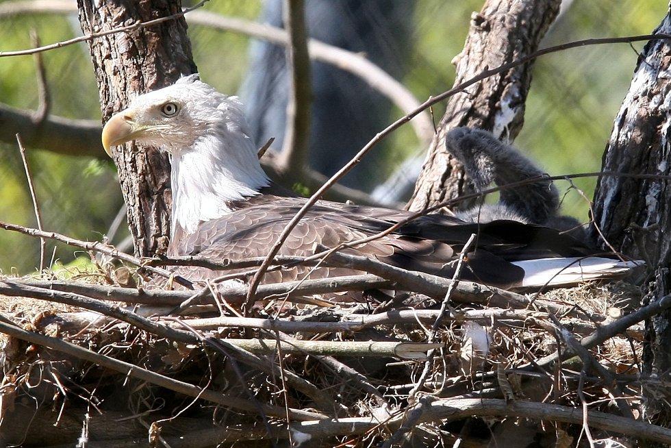 V brněnské zoologické zahradě se vylíhlo mládě orla bělohlavého.