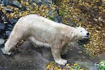 Medvědice Cora z brněnské zoo.