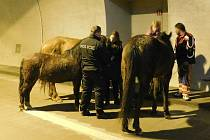 Zatoulaní koně se dostali až do Královopolského tunelu, kde skončila jejich vycházka.