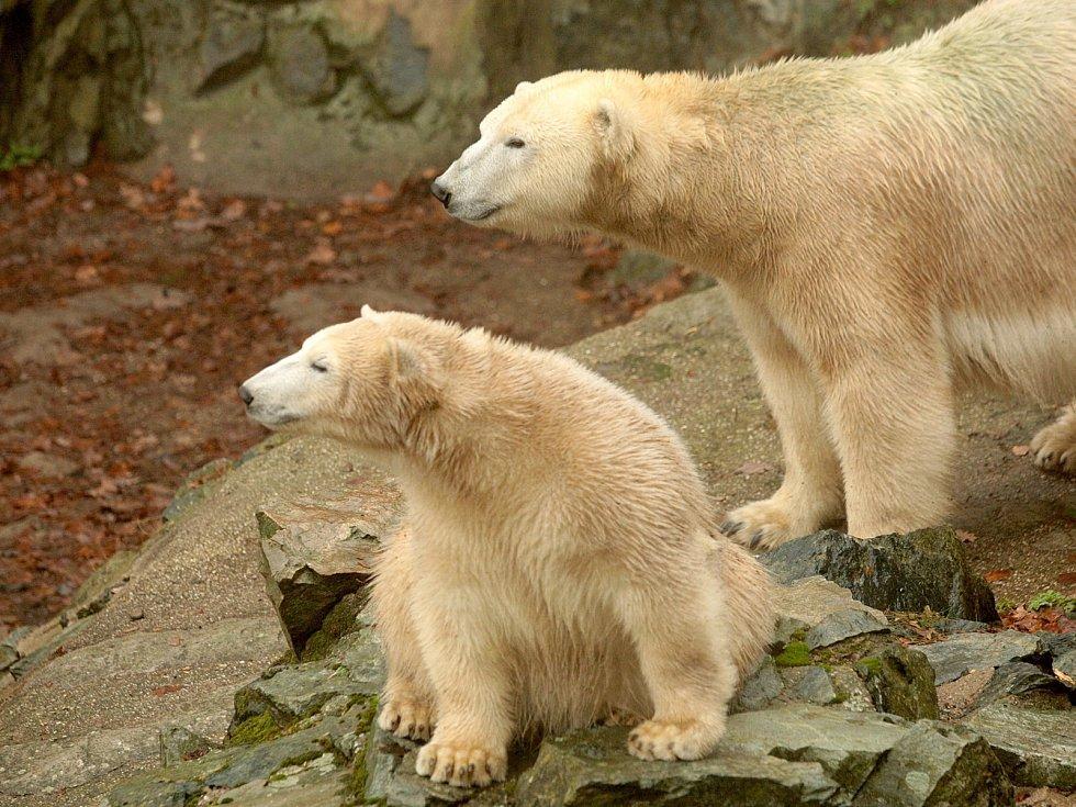 Lední medvědi v brněnské zoologické zahradě.