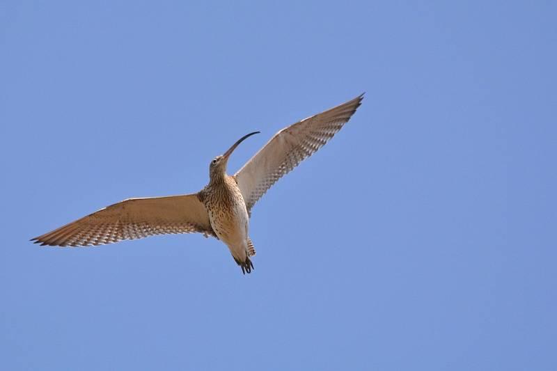 Zachycení ptáků v přírodě je pokaždé plné překvapení. Na snímku je koliha velká.