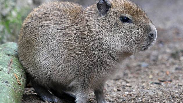 Nové mládě ve výběhu kapybar již zanedlouho uvidí návštěvníci brněnské zoo. Přírůstek do skupiny kapybar se narodil před měsícem.