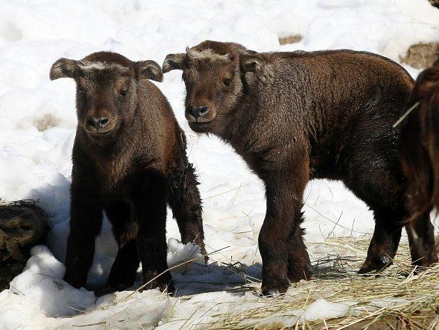 Malý takiní chlapeček se v brněnské zoo narodil koncem února, holčička na začátku března.