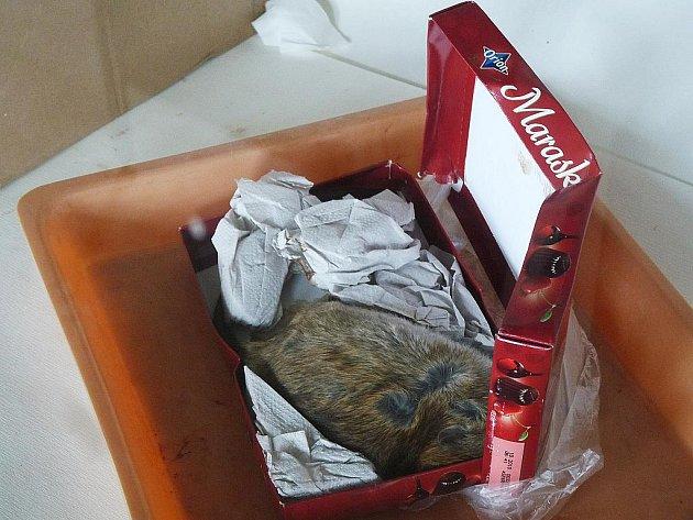 Podezřelá zásilka měla uvnitř mrtvého potkana.
