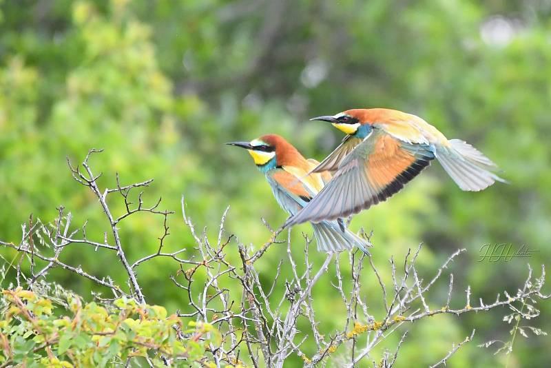 Zachycení ptáků v přírodě je pokaždé plné překvapení. Na snímku je vlha pestrá.
